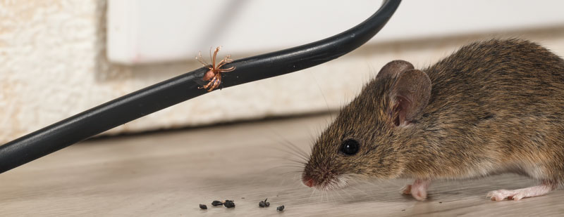 Mice and Rodents